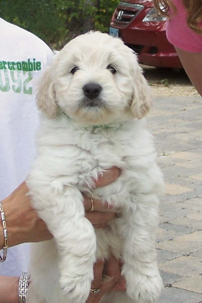 goldendoodle. The goldendoodle trains easily